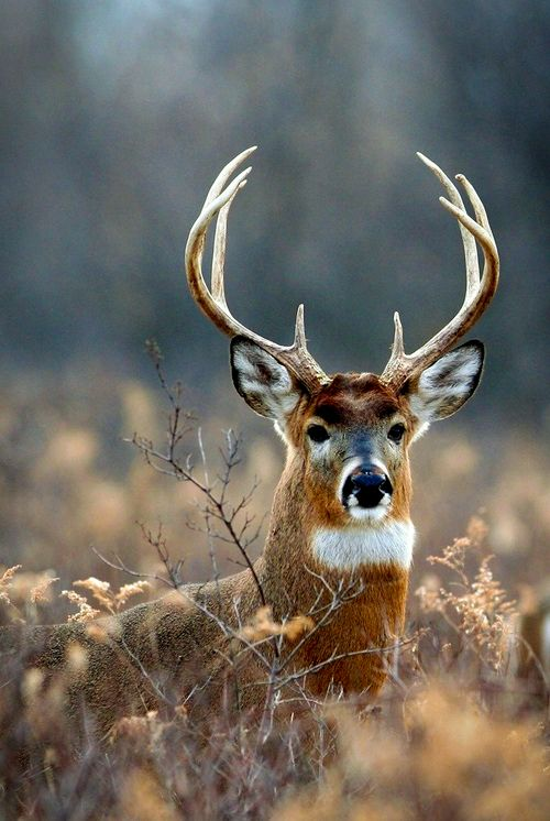 Whitetail deer one of my primary guardians