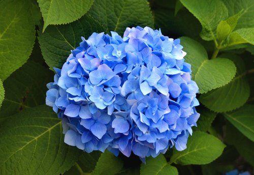 Blue Antique Hydrangeas: all year  $$$$