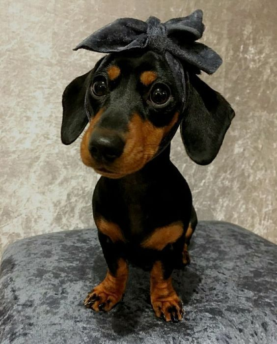 Vintage Doxie Weenie Dogfashion Dogs Fashion Sausage Dog
