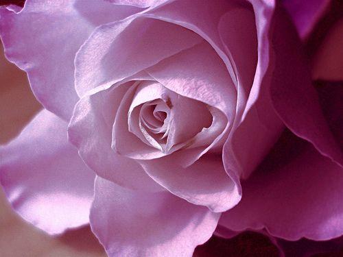 صور ورد احمر صور ورد Flowers Photos Blue Roses Wallpaper Flowers Beautiful Flowers
