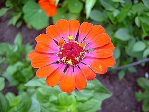 ZINNIA WHIRLIGIG BI-COLOR FLOWER SEEDS MIX    GARDENING