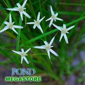 Pond plant, Giant star grass.