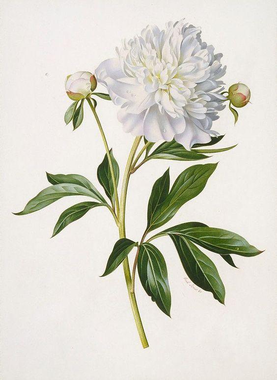Peony Botanical Illustration Black And White