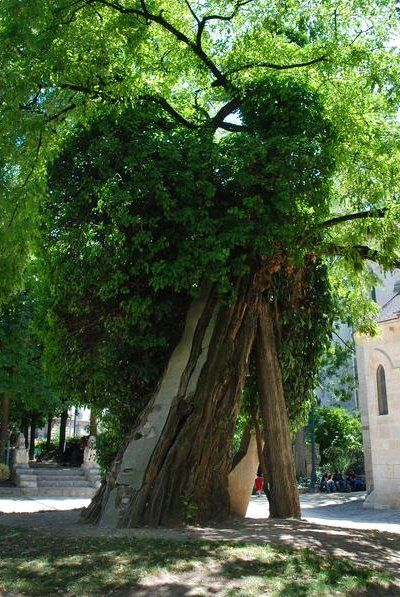 Le plus vieil arbre de Paris (1601) – Robinier faux acacia du Square Viviani – Photo : Thierry Guillaume / Mairie de Paris