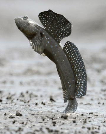 有明海の干潟で跳び上がる「ムツゴロウ」=2012年6月、佐賀県小城市