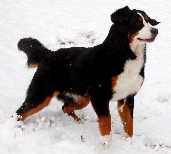 Bernese Mountain Dog Snow