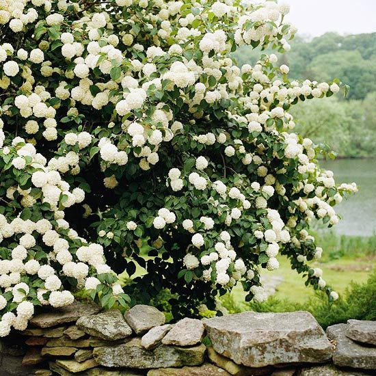 Snowball viburnum - flowering hedge, requires full sun/partial shade, stands 3-15 ft tall and 3-12 feet wide.  Perfect for backyard privacy! :)