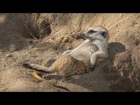 Eyes Wide Open Do Meerkats Make Good Pets Pets Cute Animals Meerkat