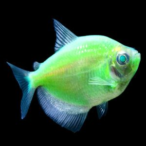 Pinterest the world s catalog of ideas for Glo tetra fish