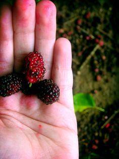 Plante um pé de amora no quintal da casa ou do apartamento | Jardim das Ideias…