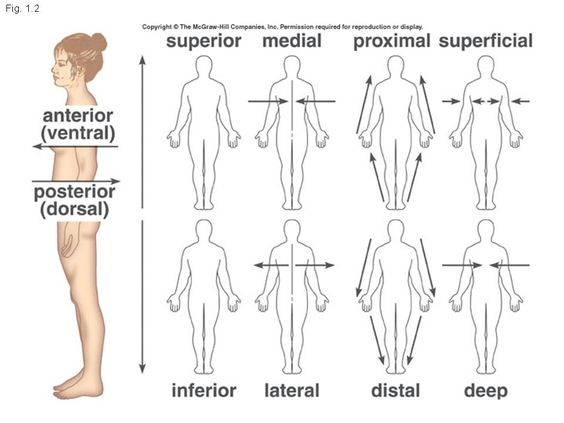 Printables Anatomical Directions Worksheet anatomical directions worksheet versaldobip medial lateral thebody as a whole the big abitlikethis
