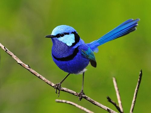 The Splendid Fairywren, also known simply as Blue Wren, is small bird found across much of Australia.: