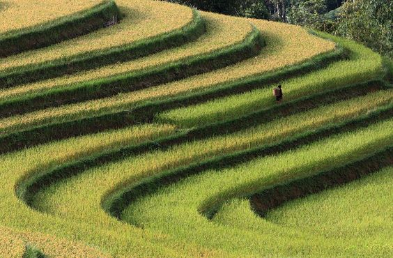 Rice Terraces Close to Harvest Season