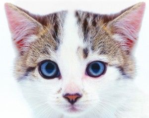 Natural Ear Mite Remedy For Kittens