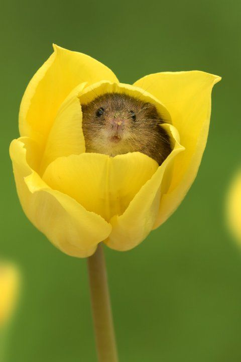 Pic By Miles Herbert/Caters News - (Pictured: A harvest mouse inside a tulip. Pic Taken: 18/05/2017) - This photographer must have let out a squeak of delight when he spotted some cute mice tiptoeing through the tulips near his Bournemouth home. Miles Herbert, 52, captured the sweet snaps as the harvest mice played inside the colourful flowers for several minutes. Miles, who runs photography workshops with his company, Captivelight Photography, said harvest mice were cute but destructive ...