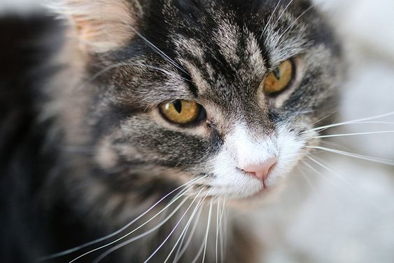Wallpapers Cats Whiskers Snout Glance Animals Staring-tabby cat