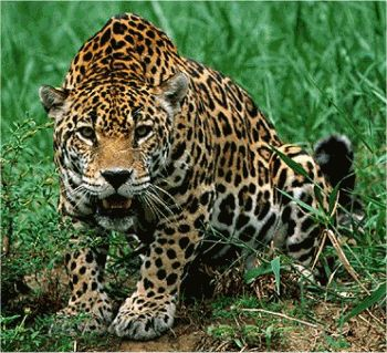 Jaguar o Balám en Quintana Roo aldeazama.com