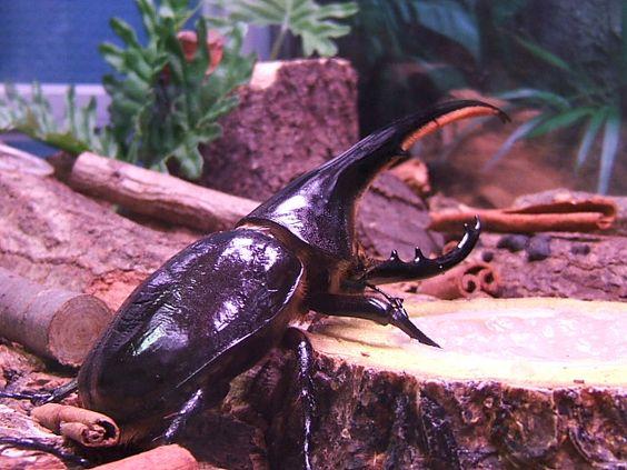 Dynastes hercules hercules02 - Escarabajo rinoceronte - Wikipedia, la enciclopedia libre
