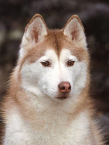 Things We Adore About The Intelligent Siberian Husky Puppies