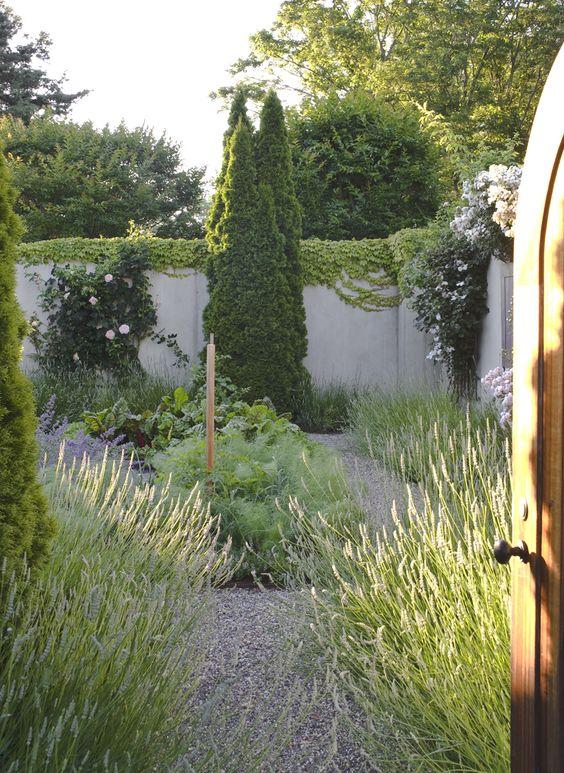 Lavender in the herb garden in Spring