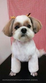 Fresh Shih Tzu Frisuren Shih Tzu Dog Grooming Lhasa Apso Puppies