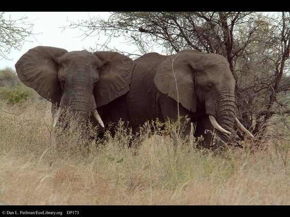 The Social Side of Male African Elephants The social relationships between female elephants is relatively well established; documentaries and TV shows love to talk about the matrilineal society that...
