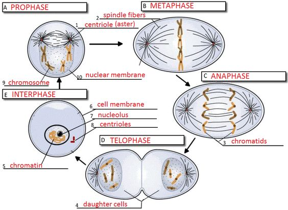 Worksheets The Cell Cycle Worksheet With Answer keys mitosis and worksheets on pinterest image shows the stages of cell cycle interphase prophase metaphase anaphase telophase asks students to name phase identify major