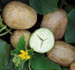 Little Potato Cucumber (Khira Balam)