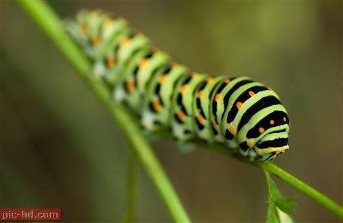 اجمل صور اليرقة صور تحول اليرقة لفراشة Caterpillar Insect Leaf Wallpaper High Def Wallpapers