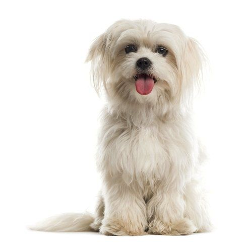 15 Dog Breeds That Live The Longest Maltese Dog Breed Dog