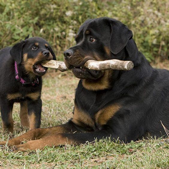 Rottweiler Loving Confident And Loyal Rottweiler Hund Hunderassen