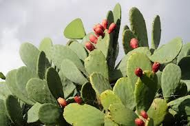 Learn how the Native Americans used prickly pears. The seeds, pads and fruit can all be eaten. During a water shortage you can squeeze juice from the pads.