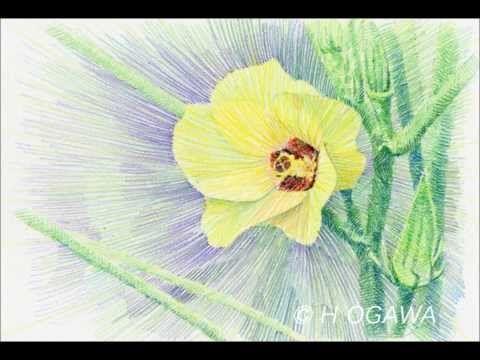 Colored Pencil Technique Beginner To Okura Flowers Youtube 色鉛筆技法 初級編 オクラの花を描く Youtube Colored Pencil Technique Begi Flower Drawing Colored Pencils Drawings