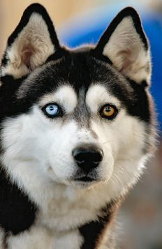 Siberian Husky - check out this dog's beautiful eyes, a blue and a brown, amazing.