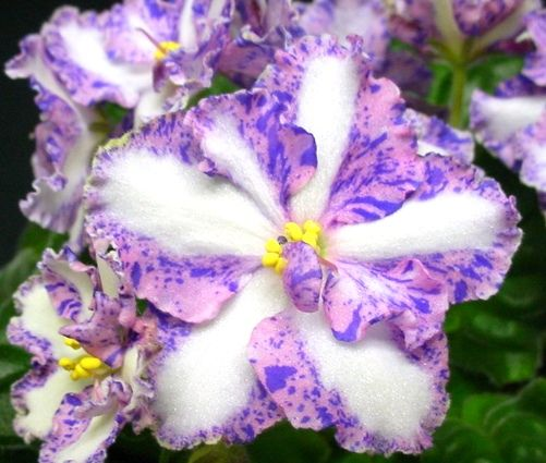 African Violet Chimera.      This is outstanding!!