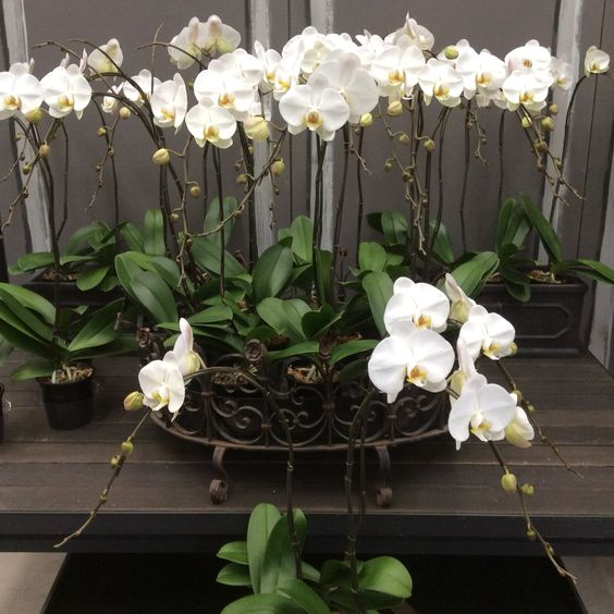 Our signature white Phals....!!! Always in stock and ready to freshen your home or to be given an a lasting gift.