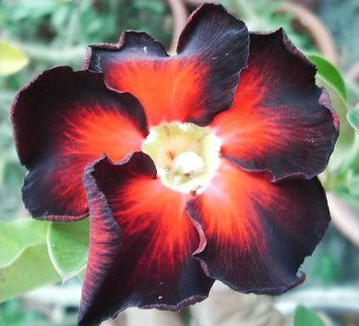 rare black succulent | DESERT ROSE ( ADENIUM OBESUM )