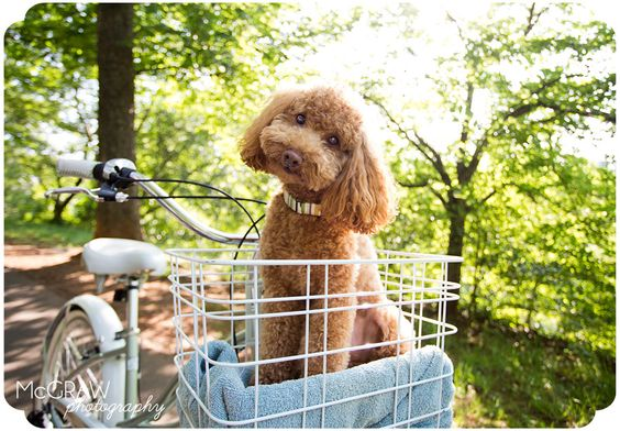 Linus + a bicycle basket = probably the cutest photo ever :: North Carolina Pet Photography