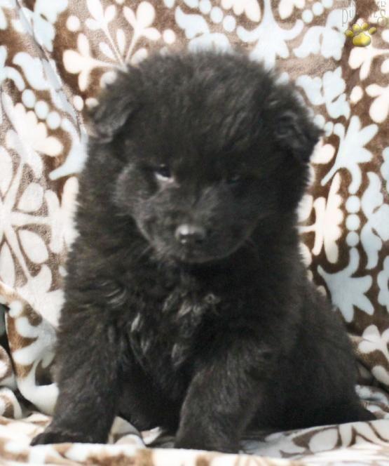 Midnight Samoyed Hybrid Puppy For Sale In Dorset Oh Lancaster