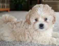 Shih Poo Shih Tzu Poodle Mix Facts Temperament Training Diet Puppies Pictures Shih Poo Shih Tzu Poodle Shih Tzu Poodle Mix