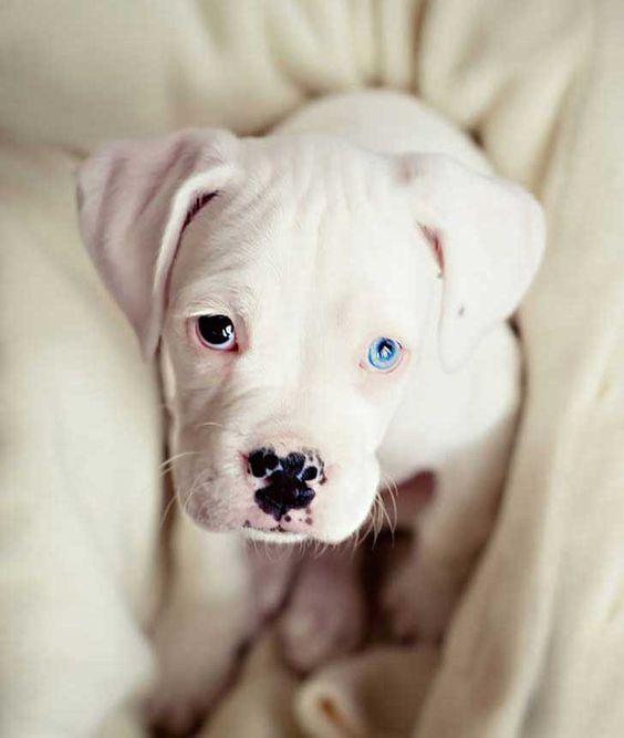perros y gatos con heterocromía