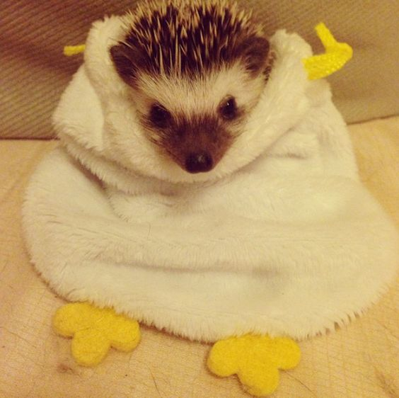 In 2006, McDonald's in the U.K. changed the McFlurry to a hedgehog-friendly design. Previously, hedgies were getting their heads caught in the lids. // 20 Enchanting Facts About Hedgehogs: