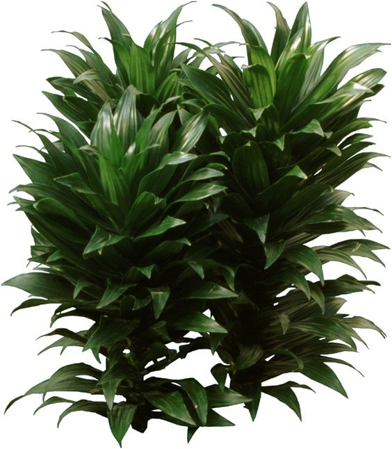 Dracaena compacta a beautiful houseplant has a thick stem and clumps of short dark green - Beautiful house plants ...