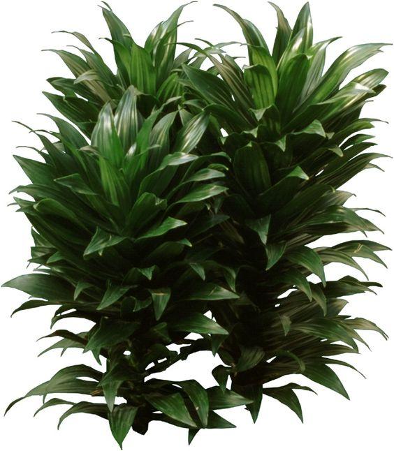 Dracaena Compacta A Beautiful Houseplant Has A Thick