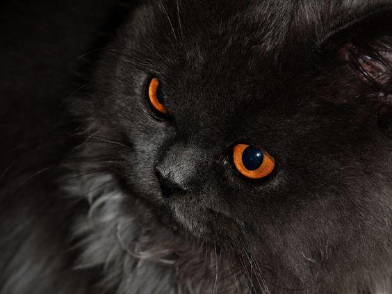 Orange eyes. Black cat. Halloween cat.