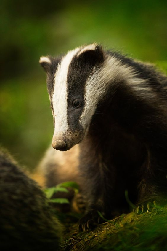 Animal portraits: Bean (Badger), Peak District National Park, Derbyshire