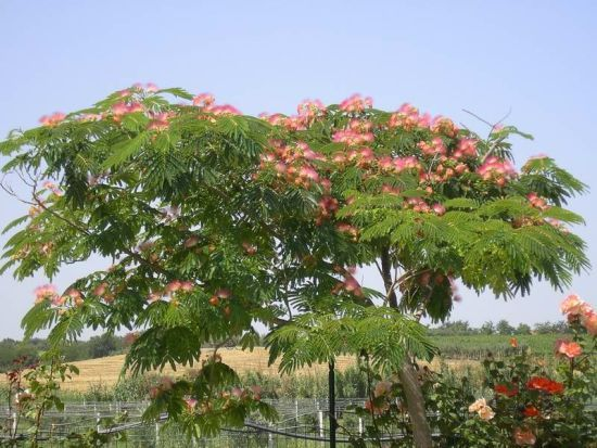 Albizia julibrissin 4 5 x 6 drought frost tolerant, full sun, tough, filtered shade    Trees