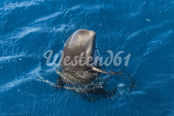 Spain, Andalusia, Long-finned pilot whale, Globicephala melas, Young animal