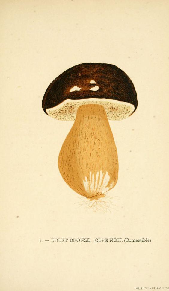 Dessins champignons - Dessin champignon 033 Boletus aerus - Bolet bronze - Cepe noir - Comestible - Gravures, illustrations, dessins, images