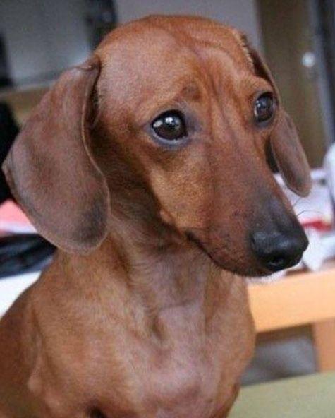 German Worry Hound Worrying 3 Dachshund Dog Weenie Dogs